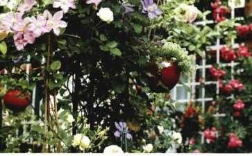 怎么建一个月季花园的5个方法 图片