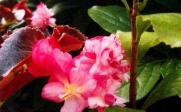 秋海棠怎么光照浇水的3个方法 图片