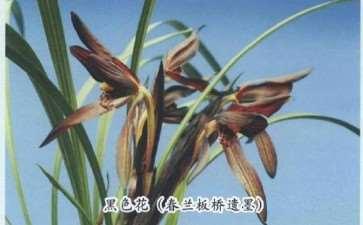 近30年来 兰花的色花得到空前的重视