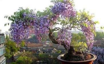 四层楼的屋顶上养植盆栽紫藤 图片