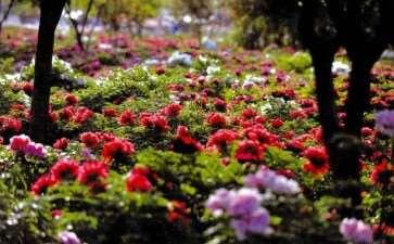 2017年4月洛阳牡丹园游园赏花活动