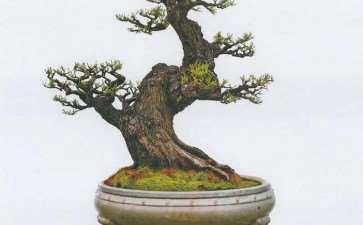 图解 韩学年制作杂木盆景《铸古熔今》的方法
