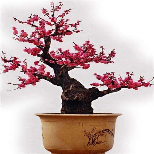 梅花盆景怎么修剪整形和抹芽的方法