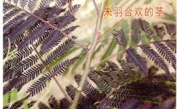 朱羽合欢的形态特征和生长习性