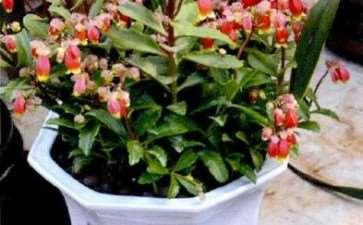 宫灯长寿花怎么浇水换盆的5个方法