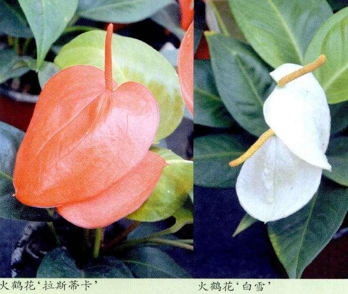 盆栽菊花在年宵花中有上升的趋势