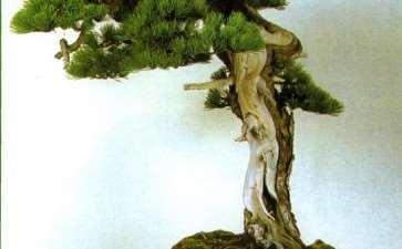 王选民谈关于文人树盆景的3个思考