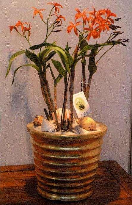 盆栽蕾丽兰怎么浇水施肥