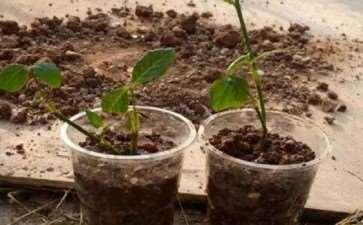 图解 月季盆栽扦插苗的上盆方法 图片