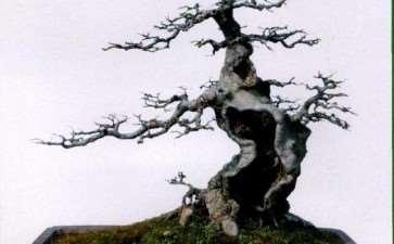 图解 杂木盆景蟹爪枝怎么制作的12个步骤