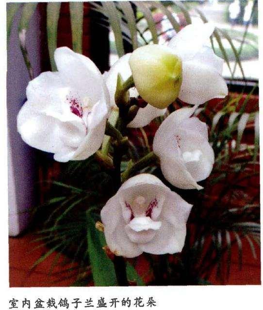 鸽子兰是中南美洲热带地区最圣洁的兰花