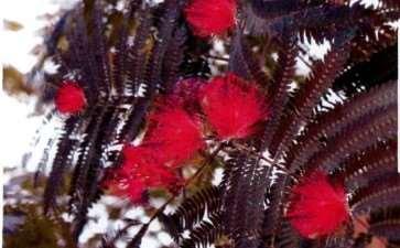紫叶合欢怎么栽培管理的5个方法