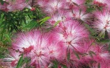 紫叶合欢的形态特征和生长习性
