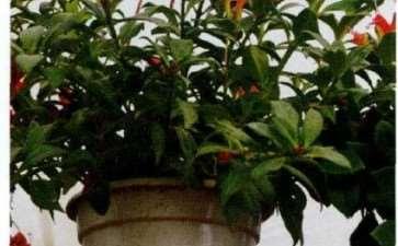 盆栽南非凌霄怎么浇水施肥的3个方法