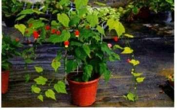 盆栽红萼苘麻怎么浇水施肥的5个方法