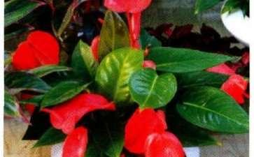 火鹤花盆栽怎么浇水施肥的5个方法 图片