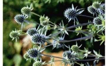 盆栽扁叶刺芹怎么浇水施肥的5个方法
