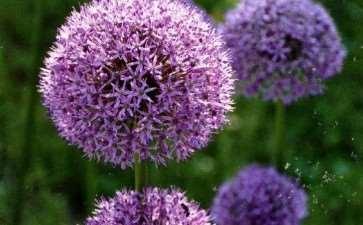 盆栽大花葱怎么浇水施肥的3个方法