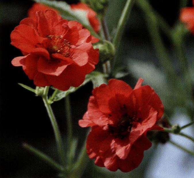 盆栽水杨梅怎么浇水施肥