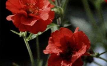 盆栽水杨梅怎么浇水施肥的3个方法 图片