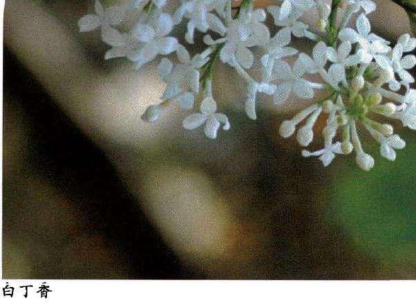 丁香花怎么繁殖养护