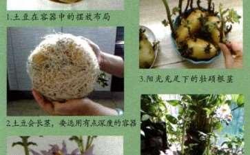 图解 怎么制作土豆盆栽的5个步骤