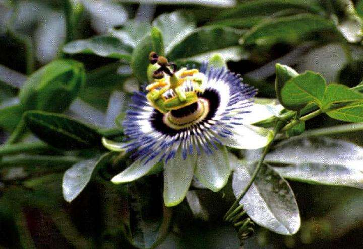 盆栽西番莲怎么浇水施肥
