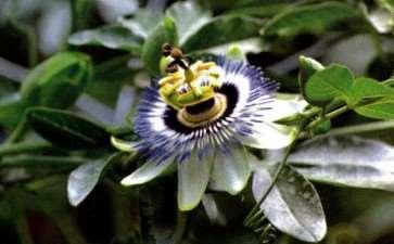 盆栽西番莲怎么浇水施肥的3个方法