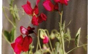 香豌豆盆栽怎么浇水施肥的3个方法