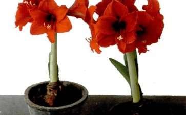怎么花盆栽种朱顶红的3个方法