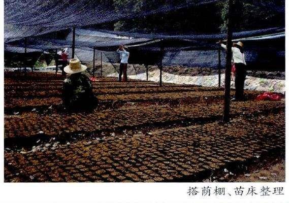 茶花种子怎么采收贮藏和圃地准备