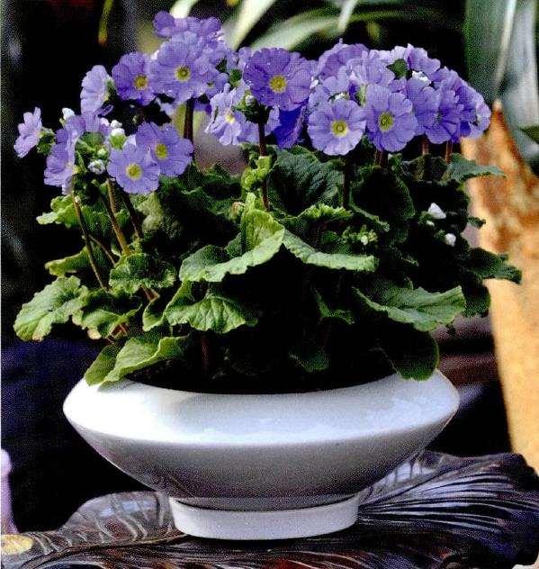 盆栽四季报春怎么浇水施肥