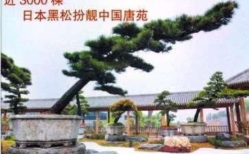 中国唐苑特从日本购买来大批黑松盆景