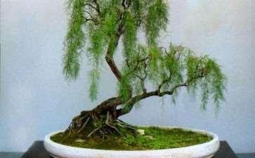 三春柳盆景怎么养护与制作要点