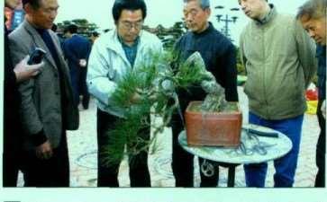 图解 小日本怎么制作赤松盆景的4个过程