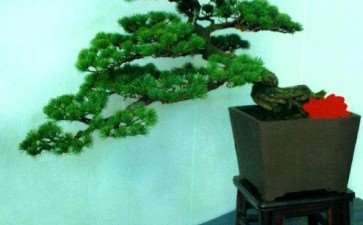 松树盆景怎么采光越冬的5个方法