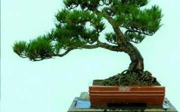 夏季松树盆景怎么浇水的6个方法 图片