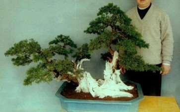 图解 真柏盆景怎么嫁接树材的15个过程