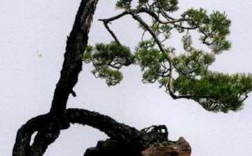 图解 山松盆景怎么树势造型的8个步骤
