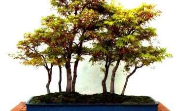 盆景树种的分类有哪2种 图片