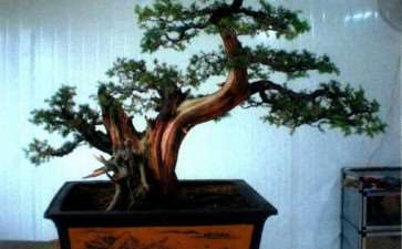 图解 刺柏盆景蟠扎前后的树相最比
