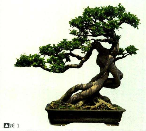泉州榕树盆景怎么品种分类