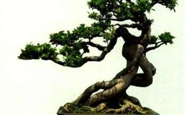 泉州榕树盆景怎么品种分类的3个方法
