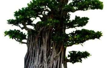 榕树盆景怎么栽培造型的3个方法
