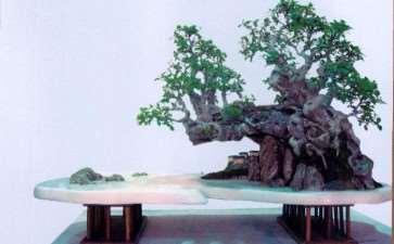 漳州诏安高超的榕树作品《悬崖蔽景》