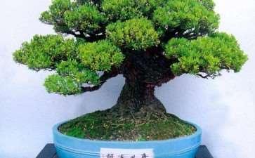 雀舌黄杨盆景怎么浇水施肥的3个方法