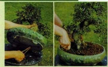 图解 盆景怎么换盆换土维持树型美