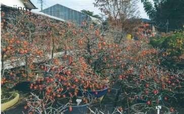 老鸦柿盆景怎么创作的5个步骤