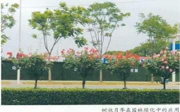 树状月季怎么砧木扦插的3个方法 图片