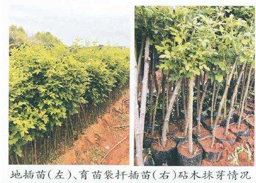 树状月季砧木品种怎么选择